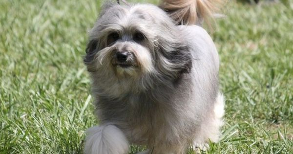 Medium Dogs That Don T Shed Dog Breeds Dogthelove Dog Breeds Dog Breeds Medium Lowchen