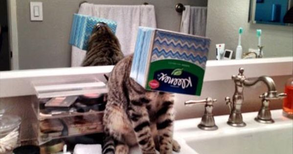 funny animals - cat his head stuck in a kleenex box