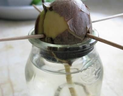 How to Grow Avocado Trees from Seeds trying this today with the