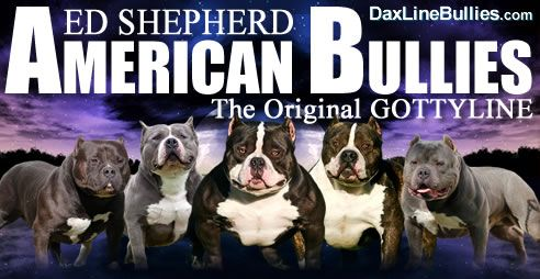 Miyagi Bully Ed Shepherd American Bullies Home Of Grand