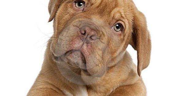 Dogue De Bordeaux Hypoallergenic No Your Dog Cute Dogs Puppies