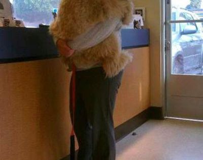 A big dog being comforted during a checkup at the vet. |