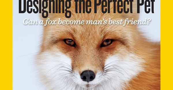 Apparently Foxes Can Be Domesticated How Cool Would It Be To Have A Fox As A Pet All Things