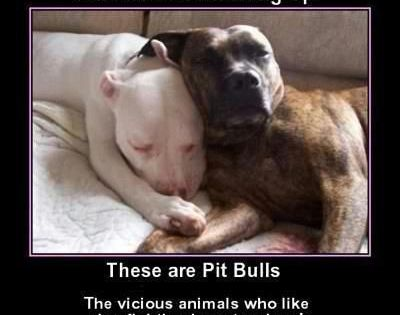 The real pit bull