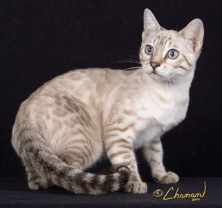 The Seal Silver Lynx Bengal Is One Of The Newest Colors In The Breed Accepted For Championship The Silver Inhib Bengal Cat Bengal Cat Kittens White Bengal Cat
