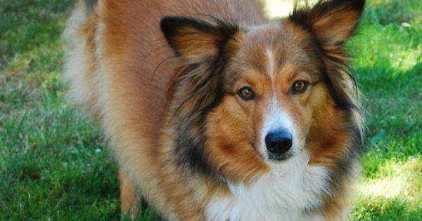 English Shepherd / Farm Collie Dog | Chewy maybe a Farm ...