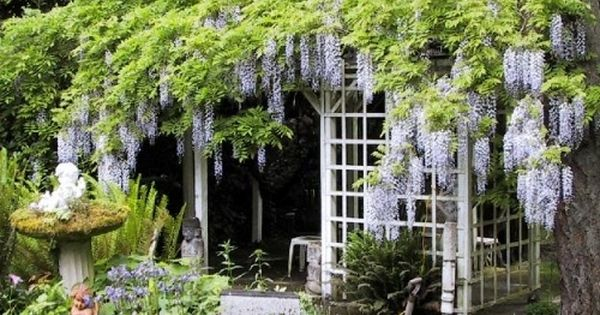 wisteria...reminds me of the secret garden
