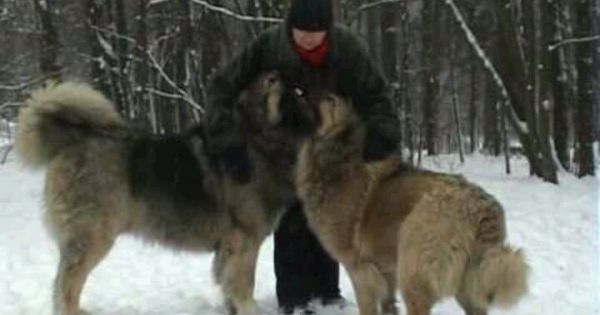 Russian Dog Breeds Used In Prisons | Dog Breeds Picture
