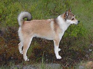 The Norwegian Puffin Dog Rare Dog Breeds