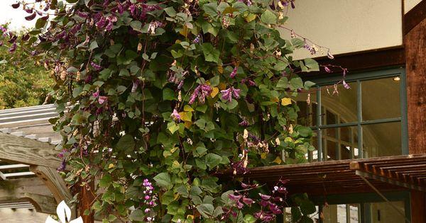 Creative Concepts Central Texas Gardener Planting Vines Fall Purple Hyacinth Bean Vine