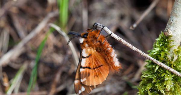 Birkenspinner Endromidae Mangfalltal Bayern