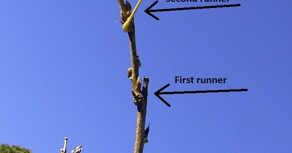 Wisteria Produces 2 Types Of Growth Long Running Stems