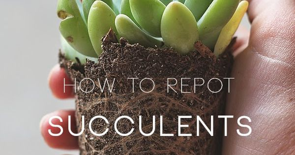 how to repot succulents gardening and flowers pinterest the right stuff happy and. Black Bedroom Furniture Sets. Home Design Ideas