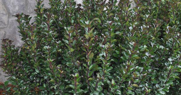 Ilex X Meserveae Little Rascal Holly Flora
