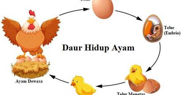 Daur Hidup Ayam Siklus Proses Tahapan Pertumbuhan Di 2021 Gambar Ayam Hewan