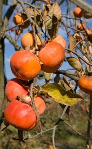 Japanese Fuyu Persimmon Trees For Sale Fuyu Persimmon Tree Fruit Trees Persimmon