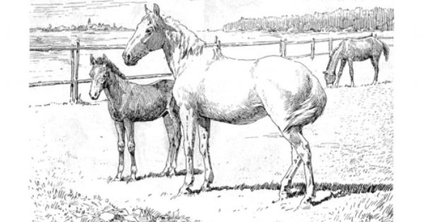 Coloring Page Horse And Foal Img 9772 Horse Coloring Pages Unicorn Coloring Pages Horse Coloring Books