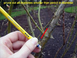 Prune Out All Branches Smaller Pruning Roses Planting Roses Prune