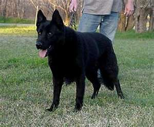 Solid Black German Shepherds From West German Working Lines