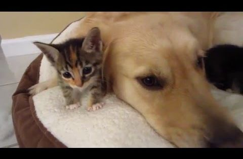 Kittens Love Their Big Dog Foster Father Cuddling With Golden Retriever 4 Weeks Old Cute Kitten Gif Kitten Love Big Dogs
