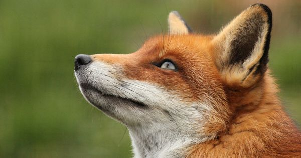 Download wallpaper Looking up, Red Fox, fox, portrait free