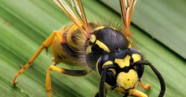 Natural Ways To Treat A Wasp Sting