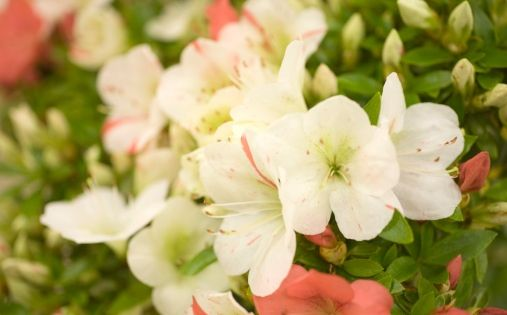 Flower Meanings List Of Flowers With Their Meanings And Pictures Flower Meanings List Of Flowers Dwarf Azaleas
