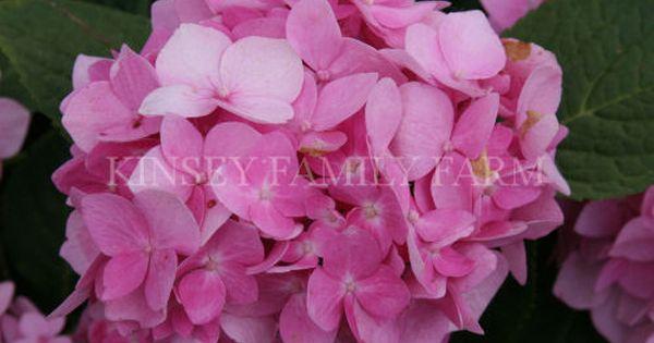 Dooley Penny Mac Hydrangea Garden Shrubs Planting Hydrangeas Plants