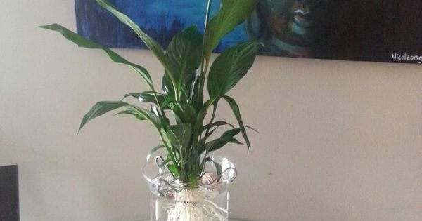 Use a vase rocks and a peace lily cleaned of all soil as for Peace lily betta fish