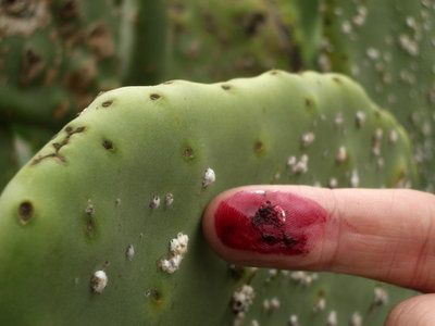Cochineal Scale Insects are tiny bugs that suck the juices ...