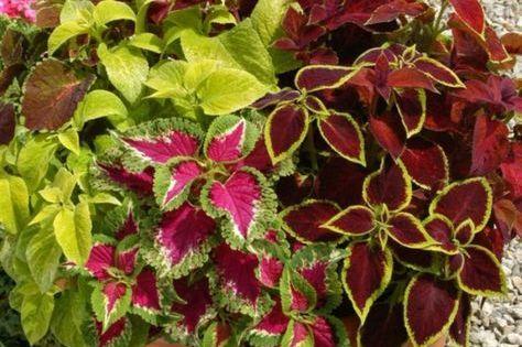 Zimmerpflanzen Fur Wenig Licht Buntnessel Blaetter Farben Rot Gruen Gelb Pink Pflanzen Pflanzen Zimmer Zimmerpflanzen