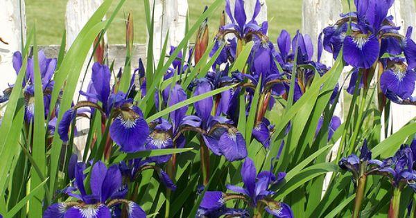 Iris Picket Fence Iris Flower Art Flower Field