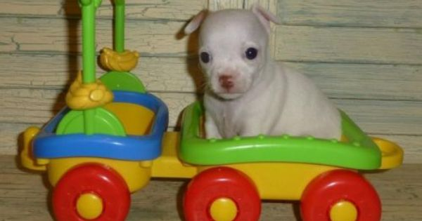 Chihuahua Short Tiny Male Last One Left See Him On My Ebay Ad