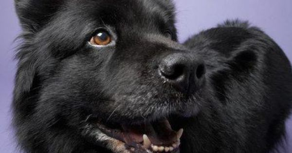 Moonshadow The Chow Lab Mix Chow Lab Mix Chow Chow Dog Lovers