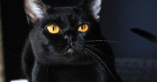 Mandalay Cat Google Search Cat Breeder Bombay Cat Cats