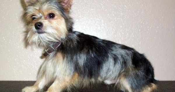 Chorkie Pictures Puppies Animals Animals And Pets