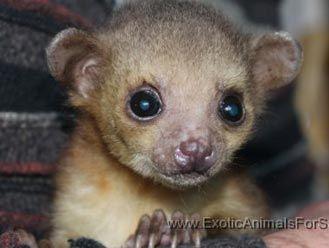 Kinkajou Cute Animals Animals Rare Animals