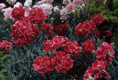 Cultivo De Claveles Reproducción Siembra Cuidados Y Variedades Flores Jardin Flor De Planta Flor De Planta Claveles Flores Plantas