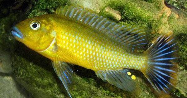 Pseudotropheus Williamsi Makonde Blue Lips
