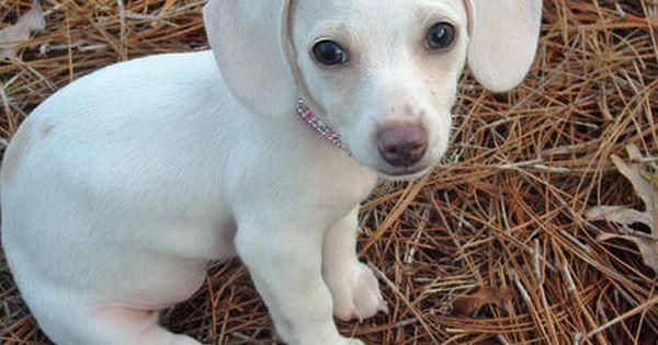 Annie The Dachshund Winnie Dogs Dachshund Puppy Miniature Dachshund Puppies