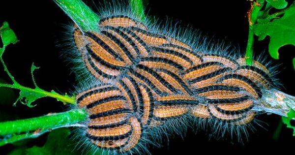 Ndr De Das Beste Am Norden Radio Fernsehen Nachrichten Insekten Eichenprozessionsspinner Tiere