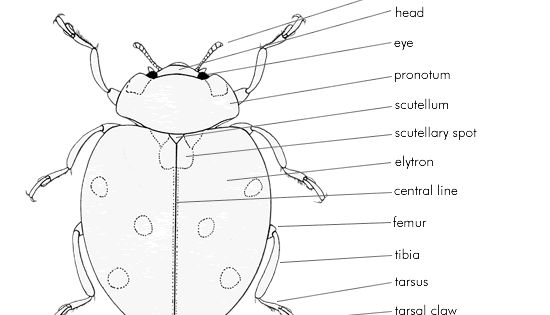 ladybird anatomy  upper side