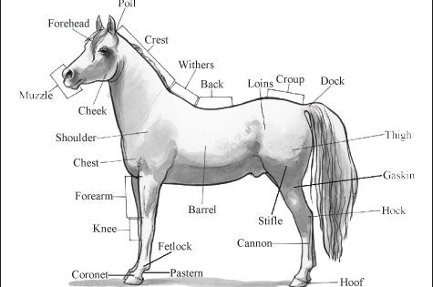 Printables Horse Anatomy Worksheet free horse unit study resources coloring creative and activities basic body parts of a withers the area on horses back just
