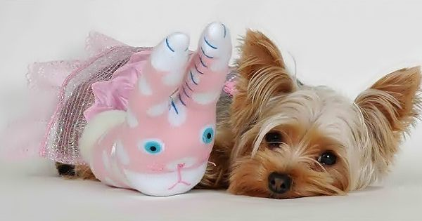 Yorkshire Terriers Facebook Cover Yorkshire Terriers Fb Cover In 2020 Yorkshire Puppies Yorkshire Terrier Puppy Wallpaper
