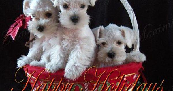 Christmas Schnauzers Cute Dogs Schnauzer Dog Holiday