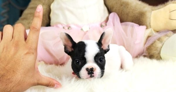 Born To Model Chocolate Sable Male French Bulldog Puppy Hand Raised By Yours Truly Visit French Bulldog Puppies Bulldog Puppies White French Bulldog Puppies