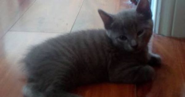 2x Part Manx 10 Week Old Kittens For Sale Cats Kittens