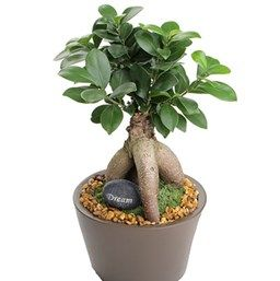 Ficus Retusa Ginseng Ficus Bonsai Bonsai Care Growing Plants Indoors