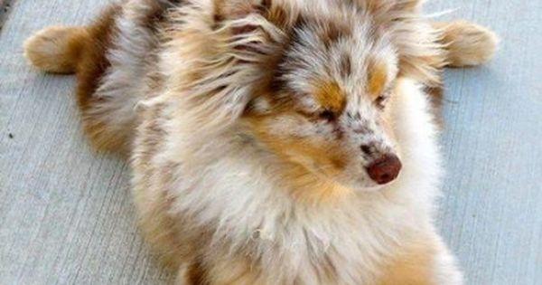 I Want An Australian Shepherd Pomeranian Mix Dog Cute Animals Cute Pomeranian Animals