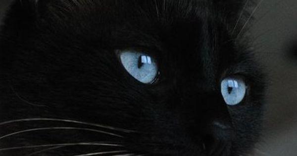 Siames Cat
